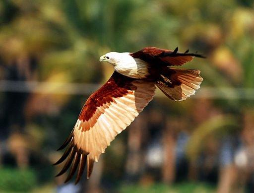 512px-Brahminy_kite.jpg wikicommons.jpg